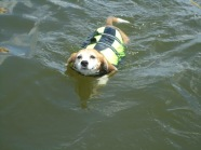 Sadie's swim is made easier with a canine flotation device.